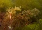 Biliphyta;Ceramiales;Delesseria;Delesseriaceae;Eurhodophytina;Florideophyceae;Rhodophyta;alger;tång