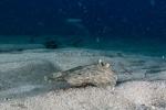 Actinopterygii;Bothidae;Bothus;Gnathostomata;Medelhavet;Pisces;Plattfisch;Pleuronectiformes;Vertebrata;flatfish;plattfisk