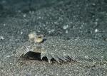 Actinopterygii;Bothidae;Bothus;Gnathostomata;Pisces;Plattfisch;Pleuronectiformes;Vertebrata;flatfish;plattfisk