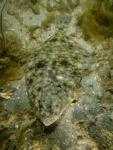 Actinopterygii;Gnathostomata;Hippoglossus;Pisces;Plattfisch;Pleuronectidae;Pleuronectiformes;Pleuronectinae;Vertebrata;Västkusten;flatfish;plattfisk