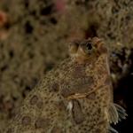 Actinopterygii;Gnathostomata;Microstomus;Pisces;Plattfisch;Pleuronectidae;Pleuronectiformes;Pleuronectinae;Vertebrata;Väderöarna;Västkusten;flatfish;plattfisk