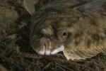 Actinopterygii;Gnathostomata;Gullmarn;Pisces;Platichthys;Plattfisch;Pleuronectidae;Pleuronectiformes;Pleuronectinae;Vertebrata;plattfisk