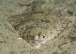 Actinopterygii;Gnathostomata;Gullmarn;Pisces;Plattfisch;Pleuronectes;Pleuronectidae;Pleuronectiformes;Pleuronectinae;Vertebrata;plattfisk