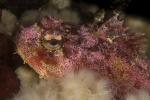 Actinopterygii;Cottidae;Cottoidei;Emerald-sea;Gnathostomata;Hemilepidotus;Pisces;Scorpaeniformes;Skorpionfisch;Vancouver;Vertebrata;drakhuvud;simpa;skorpionfisk