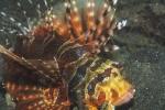 Actinopterygii;Dendrochirus;Gnathostomata;Pisces;Pteroninae;Scorpaenidae;Scorpaeniformes;Scorpaenoidei;Skorpionfisch;Vertebrata;drakhuvud;skorpionfisk