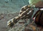 Actinopterygii;Aluterus;Gnathostomata;Indopacific;Monacanthidae;Pisces;Tetraodontiformes;Vertebrata;filefish;filfisk