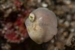 Actinopterygii;Brachaluteres;Gnathostomata;Lembeh;Monacanthidae;Pisces;Tetraodontiformes;Vertebrata;filefish;filfisk