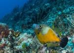 Actinopterygii;Cantherhines;Gnathostomata;Monacanthidae;Pisces;Tetraodontiformes;Vertebrata;filefish;filfisk