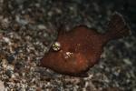 Actinopterygii;Gnathostomata;Lembeh;Monacanthidae;Paramonacanthus;Pisces;Tetraodontiformes;Vertebrata;filefish;filfisk