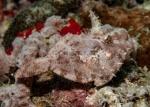 Actinopterygii;Gnathostomata;Monacanthidae;Paramonacanthus;Pisces;Tetraodontiformes;Vertebrata;filefish;filfisk