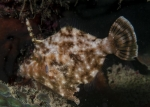 Actinopterygii;Gnathostomata;Monacanthidae;Pisces;Pseudomonacanthus;Tetraodontiformes;Vertebrata;filefish;filfisk