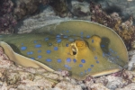Batoidea;Dasyatidae;Elasmobranchii;Gnathostomata;Myliobatiformes;Neoselachii;Pisces;Redsea;Rochen;Taeniura;Vertebrata;rocka