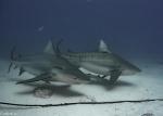 Carcharhinidae;Carcharhiniformes;Carcharhinus;Caribbean-Sea;Elasmobranchii;Galeomorphi;Gnathostomata;Neoselachii;Pisces;Selachii;Vertebrata;haj;shark