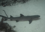 Carcharhinidae;Carcharhiniformes;Elasmobranchii;Galeomorphi;Gnathostomata;Neoselachii;Pisces;Selachii;Triaenodon;Vertebrata;haj;shark