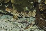 Elasmobranchii;Galeomorphi;Gnathostomata;Indopacific;Neoselachii;Orectolobiformes;Pisces;Selachii;Vertebrata;haj;shark