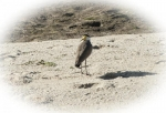 Vadarfåglar