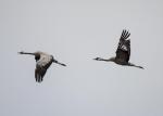 Tran- och rallfåglar