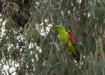 Papegojfåglar