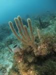 Sexstråliga koralldjur